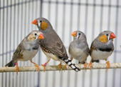 A Bird's Song May Teach Us About Human Speech Disorders